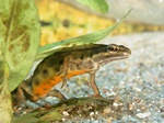 Lille vandsalamander (Triturus vulgaris)